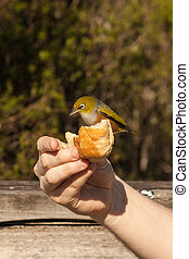silvereye pecking from hand