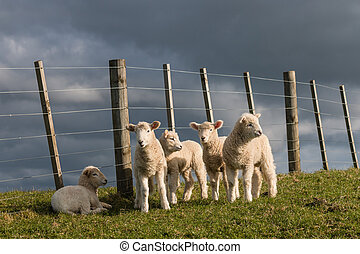 flock of newborn lambs
