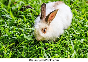 White rabbit in grass.