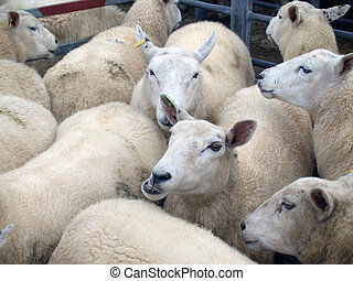 Herding - Group of sheep being herded