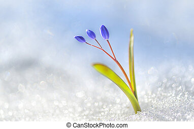 Spring flower crocus - Spring is arriving - flower bud in...