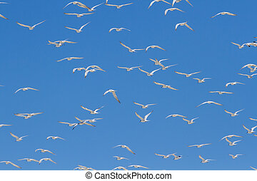 Huge swarm of terns taking off from lagoon in sun - Huge...
