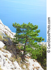 beautiful pine growing on the rock over the sea