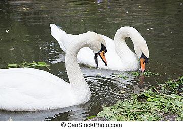 pair of swans eat in water