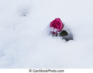purple rose - beautiful purple rose in the white snow...