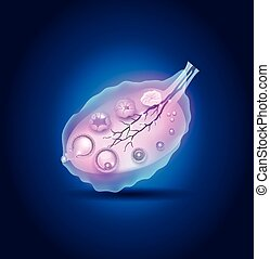 Ovulation in the Ovary detailed diagram, blue design