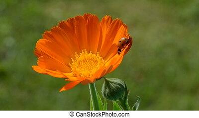 ladybird ladybug on calendula