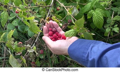 hands gathering wild raspberry - hands gathering fresh wild...
