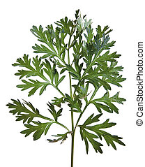 Common Wormwood (Artemisia absinthium)