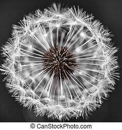 Dandelion head with seeds - Macro closeup of dandelion seed...