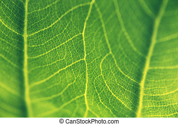 Close up of Taro leaf, Colocasia esculenta - Taro is a...