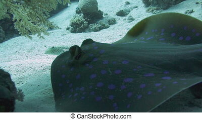 Bluespotted stingray in the Red Sea. - Bluespotted...