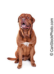 Dog of Dogue De Bordeaux isolated on white - Dog of Dogue De...