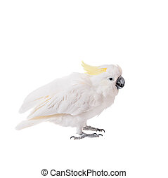 Sulphur-crested Cockatoo, isolated on white -...