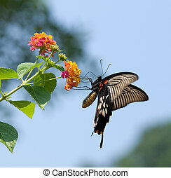 Swallowtail butterfly flying and feeding under blue sky