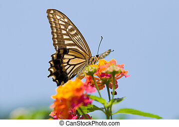 Colorful swallowtail butterfly flying and feeding on flowers