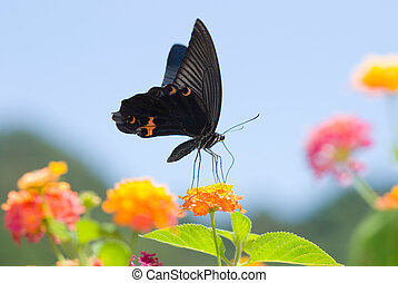 Big black swallowtail butterfly flying under blue sky,...