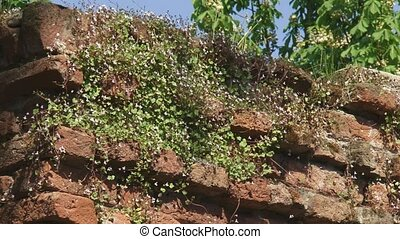 toadflax grows in ancient city wall - flowers Ivy-leaved...