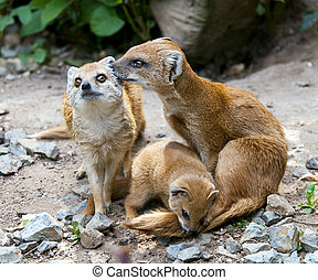 Mongoose - A mongoose family. Two adults and one cub.