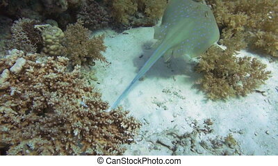 Bluespotted stingray in the Red Sea - Bluespotted ribbontail...