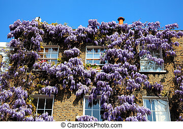 wisteria - Georgian terraced town houses in London's,...