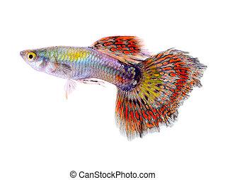 guppy, peixe, isolado, ligado, branca, fundo,