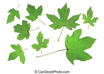 Field maple Acer campestre different leaves isolated against...