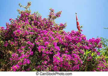 Oleander rose bay flower. Nerium oleander L.