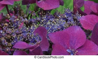 Hydrangea macrophylla Kardinal blooming - close up. On...