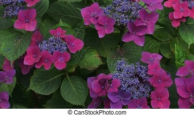 Hydrangea macrophylla Kardinal blooming - tilt up On Lacecap...