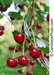 twig of cherry-tree with red cherries - Twig of cherry-tree...