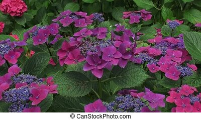 Hydrangea macrophylla Kardinal blooming - tilt down. On...