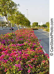 Bougainvillea B spectabilis - Planted here along the...