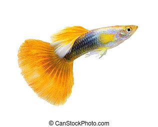 peixe, branca,  guppy, isolado, fundo