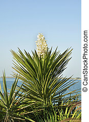 Yucca plant - Planted here as part of the Corniche...