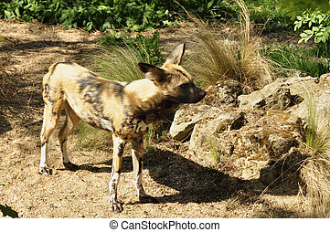 Wild Dog Lycaon pictus - AKA painted dogs and cape hunting...