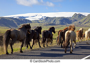 Icelandic Horses Running On A Road - Icelandic horses...