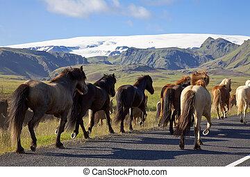 Icelandic Horses Running On A Road