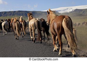 Icelandic Horses Running Along A Road