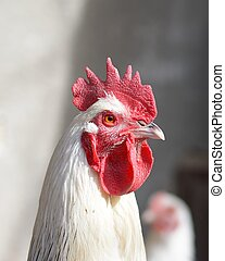 majestic sussex rooster portrait