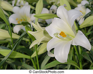 Lilium longiflorum (Easter lily) - Close up of Lilium...