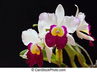 blanco, orchid, Cattleya, en, negro, Plano de fondo,