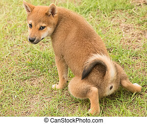 Shiba Inu potty training - Shiba Inu puppy potty training