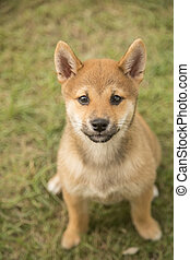 Shiba Inu - shiba inu puppy sitting on the grass