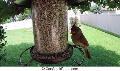 Red Northern cardinal birds eating - Bird feeder with male...