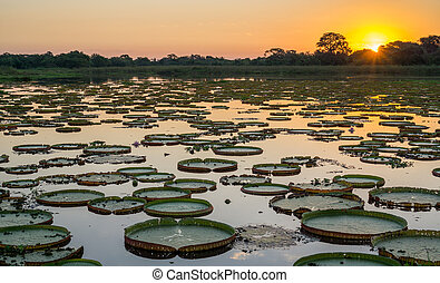 Sunset in pantanal wetlands with pond and victoria regia -...