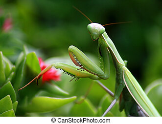 Preying Mantis - Close up shot of a Green Preying Mantis...