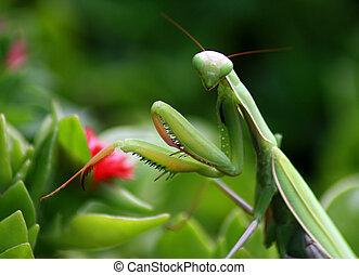 Preying Mantis - Close up shot of a Green Preying Mantis...