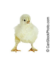 Cochin Chick - Cochin chick isolated over white.