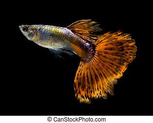 Guppy, peixe, isolado, ligado, pretas, fundo,